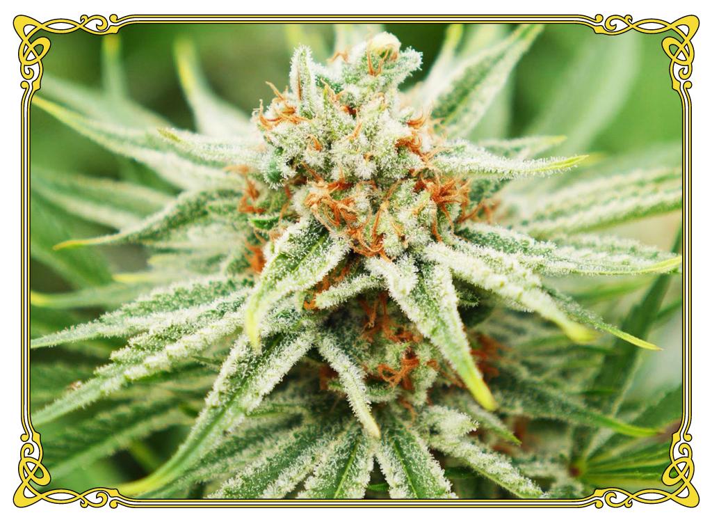 marijuana strain ACDC strain
