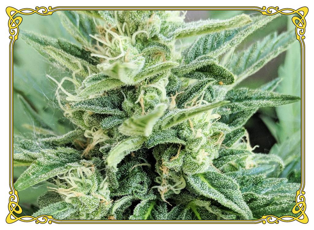 marijuana strain OG Kush strain