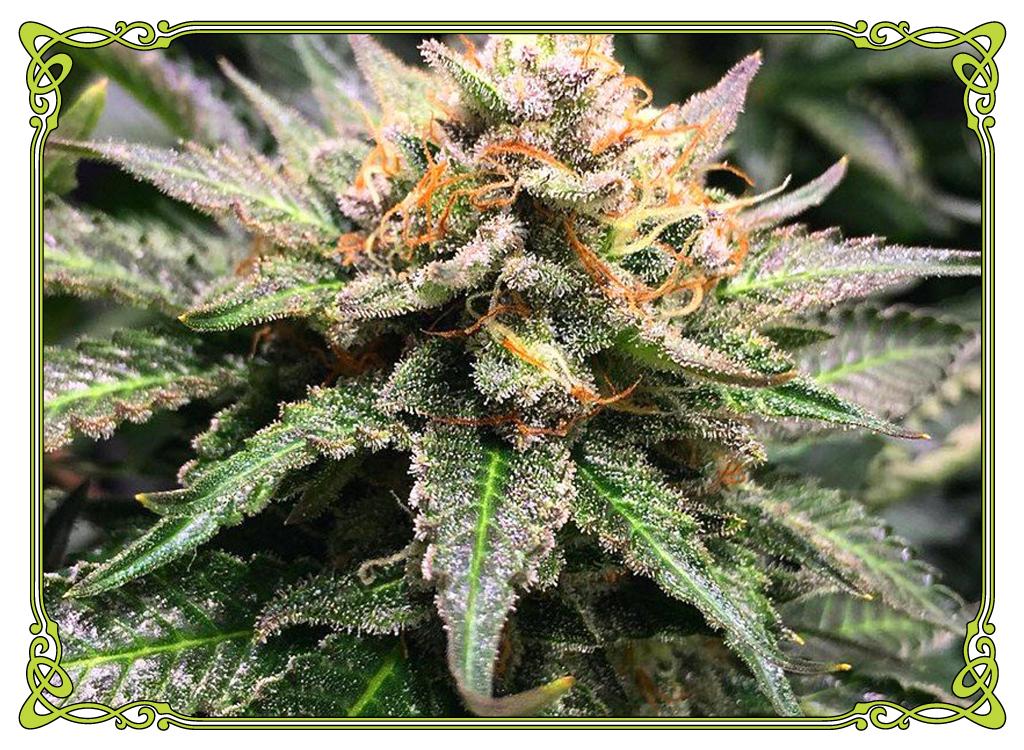 marijuana strain amnesia haze strain