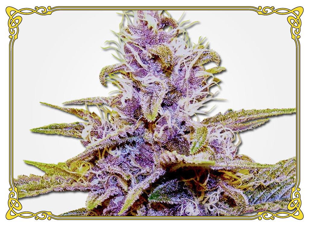 marijuana strain blue crack strain