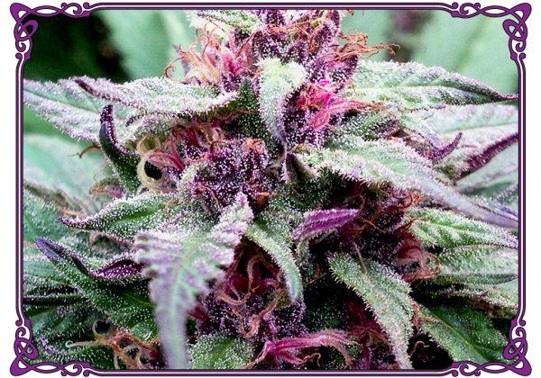 marijuana strain blue diesel strain