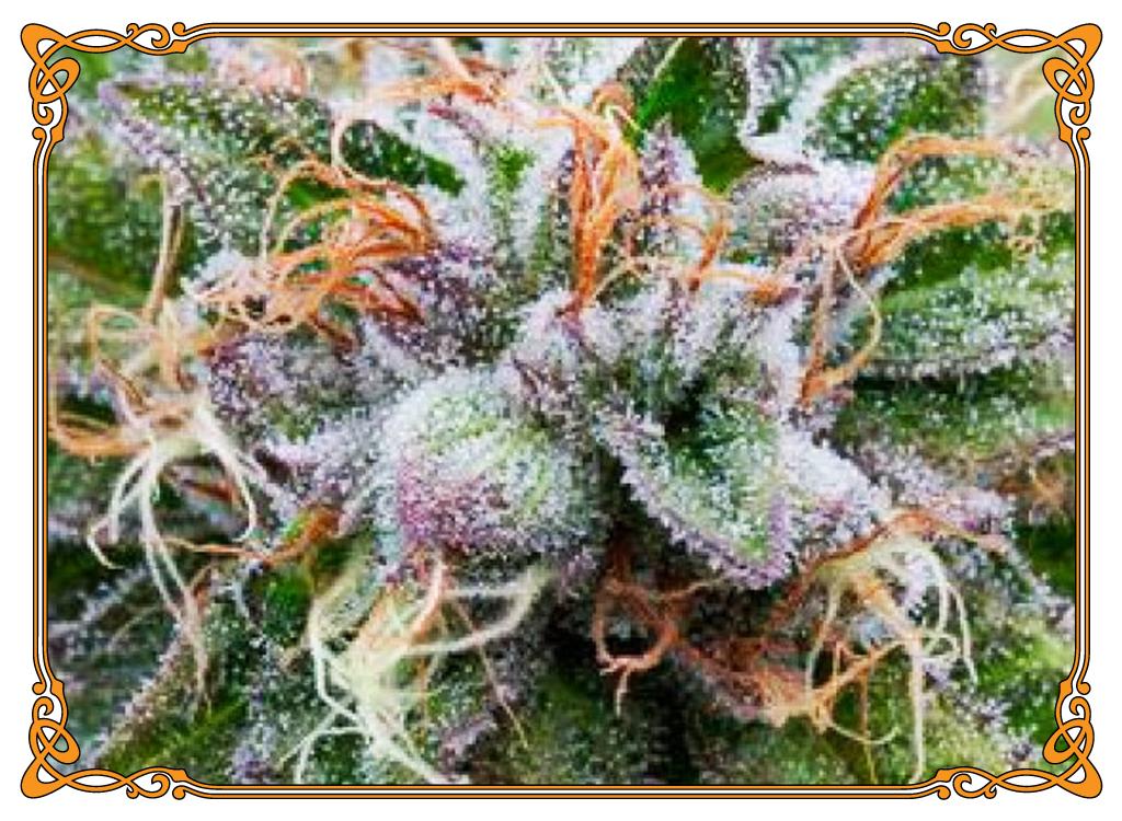 marijuana strain bubba kush strain