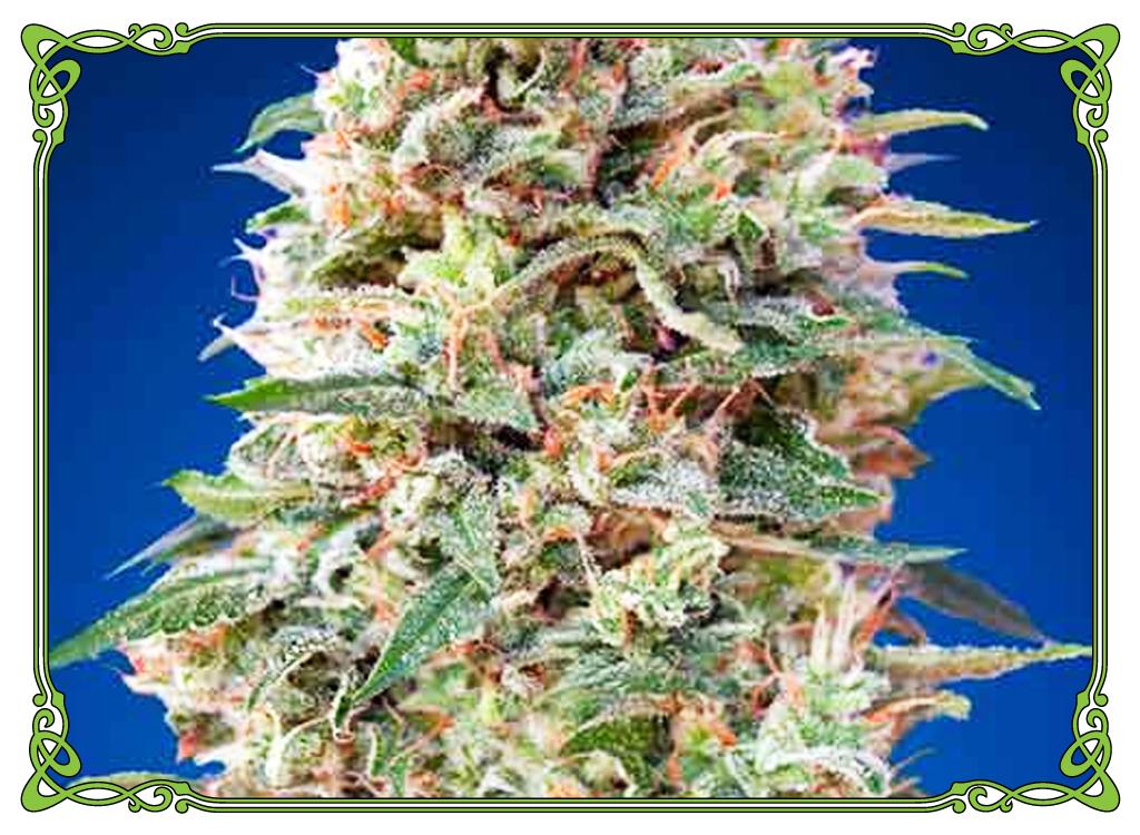 marijuana strain california kush strain