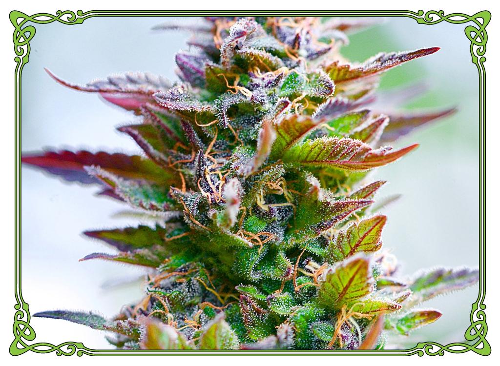 marijuana strain cannalope haze strain