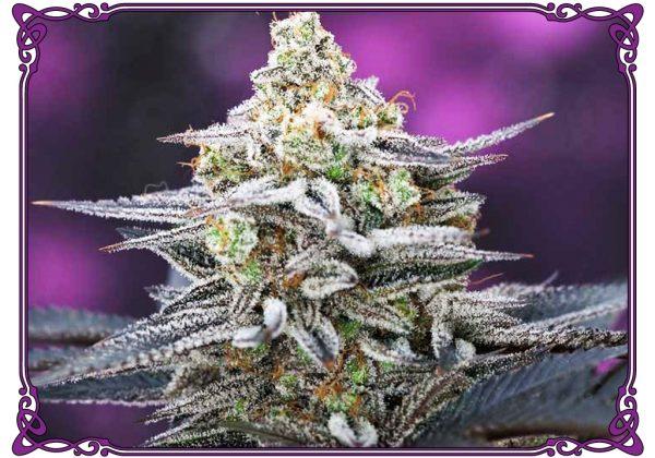 marijuana strain cherrygasm strain