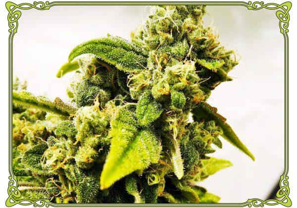 marijuana strain cookies and cream strain
