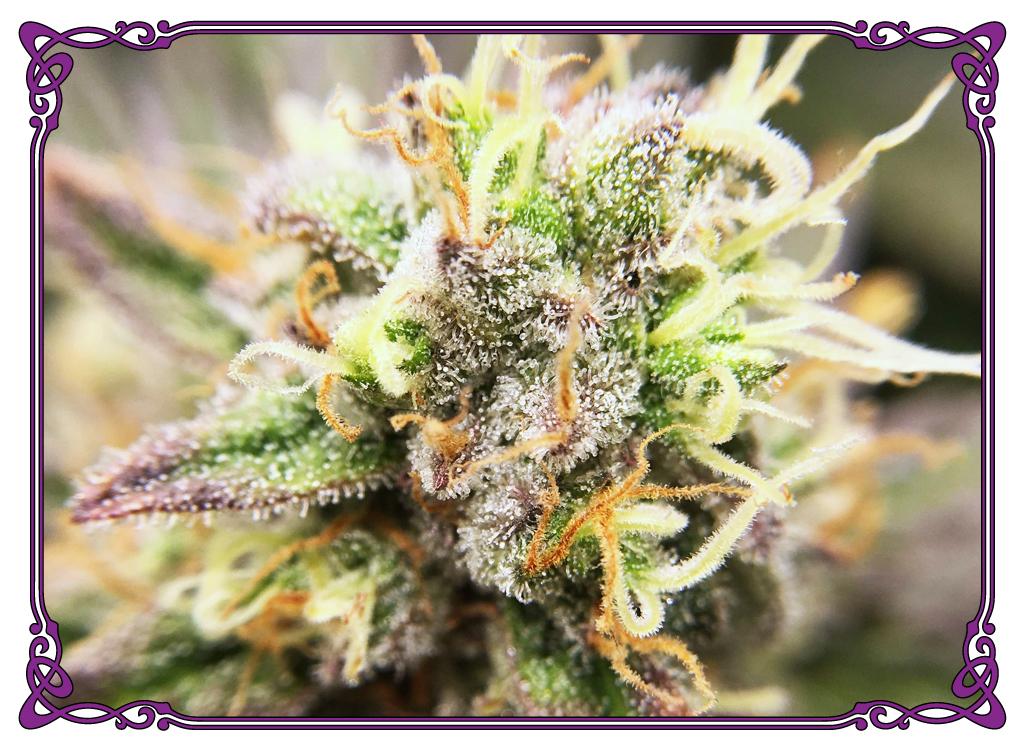 marijuana strain durban poison strain