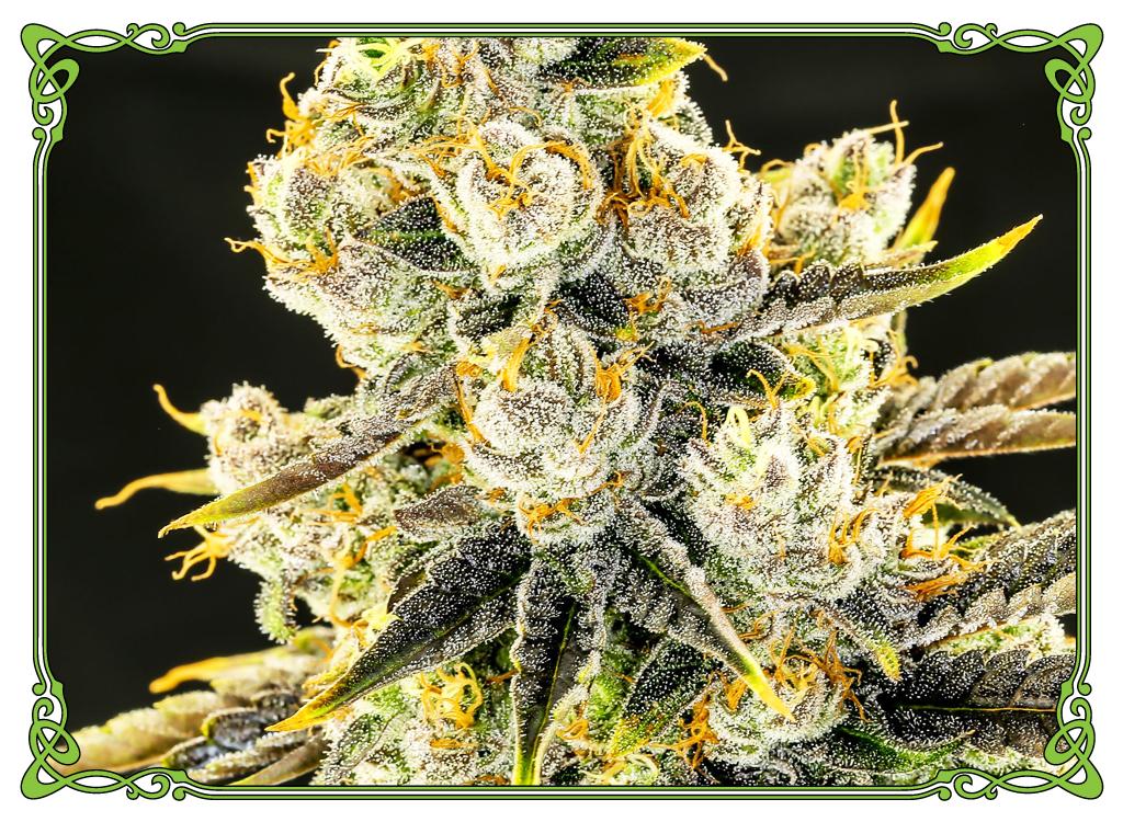 marijuana strain flo strain