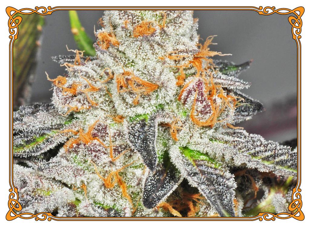 marijuana strain girl scout cookies strain
