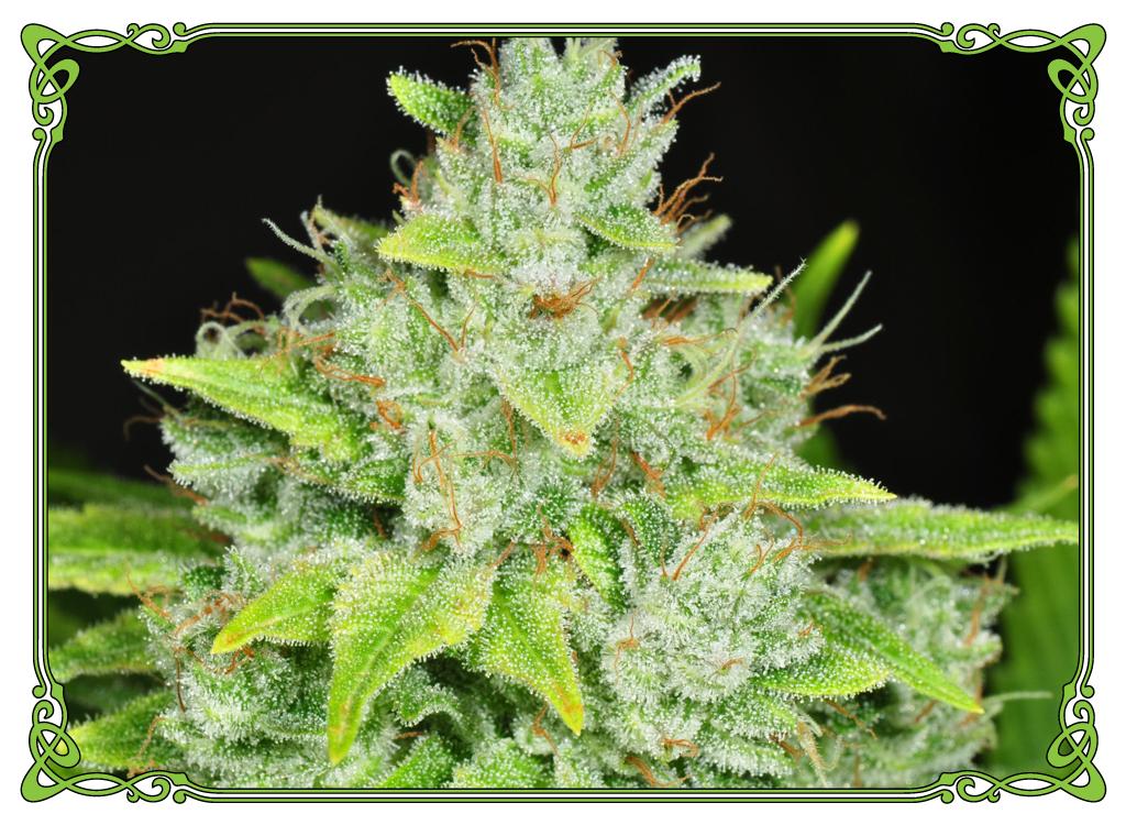 marijuana strain gorilla glue strain