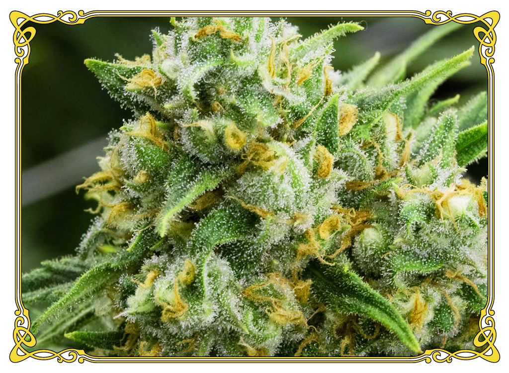 marijuana strain green crack strain