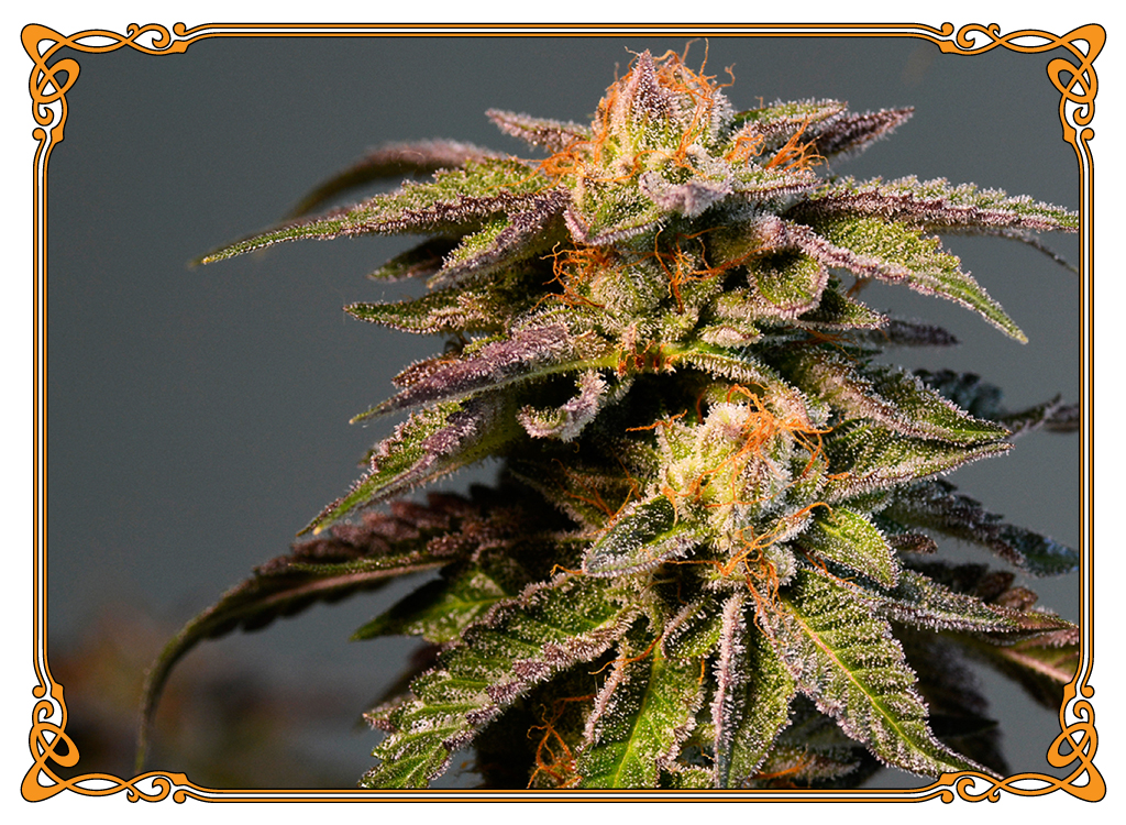 marijuana strain harlequin strain