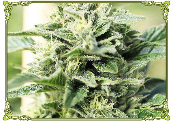 marijuana strain lemon G strain
