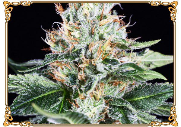 marijuana strain orange juice strain