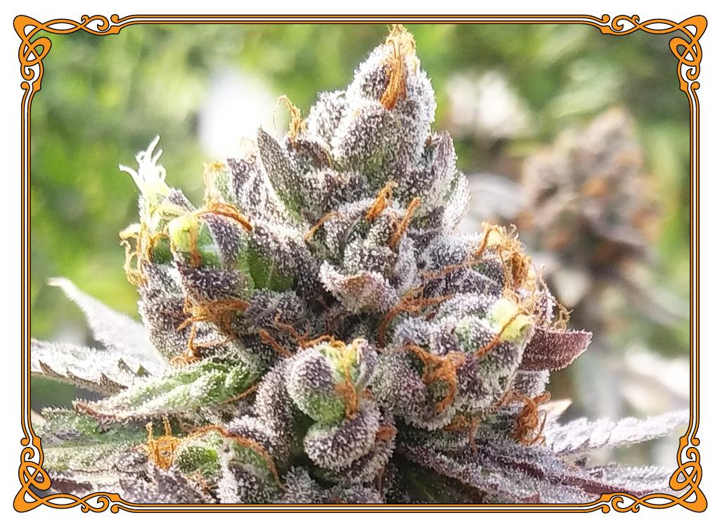 marijuana strain pineapple express strain