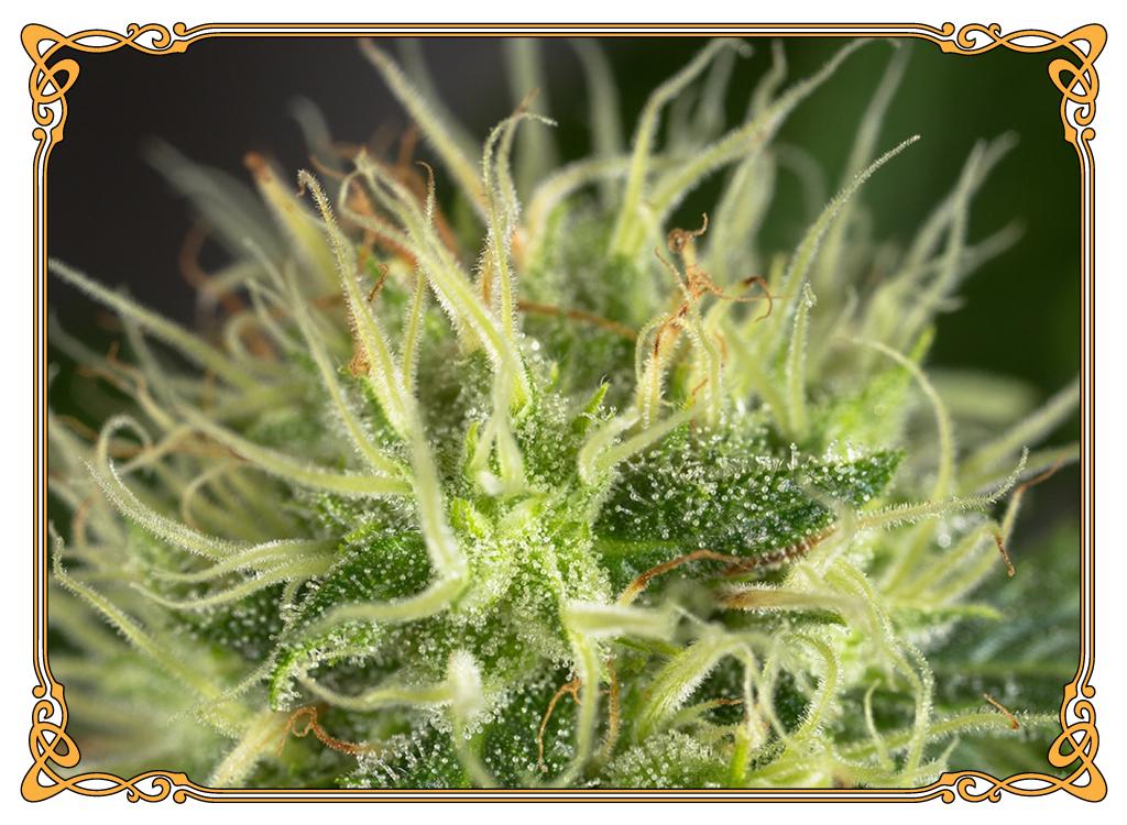 marijuana strain pineapple kush strain