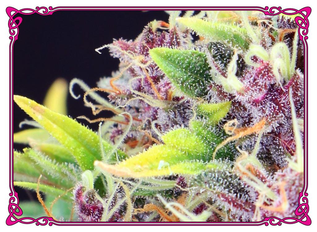marijuana strain purple diesel strain