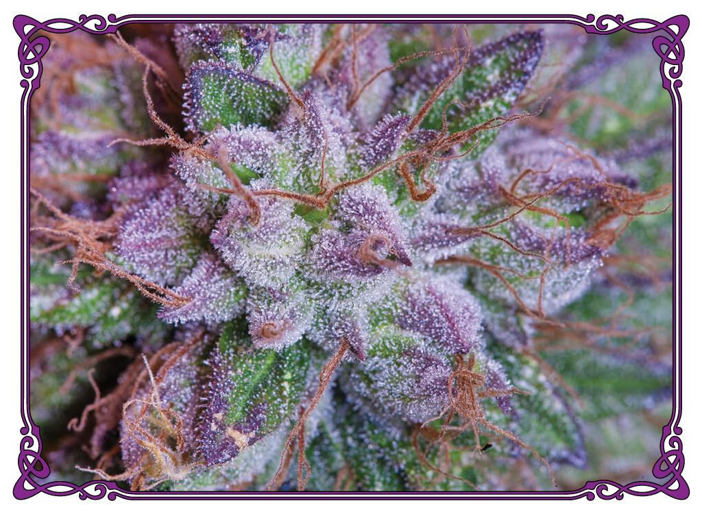 marijuana strain purple gorilla strain