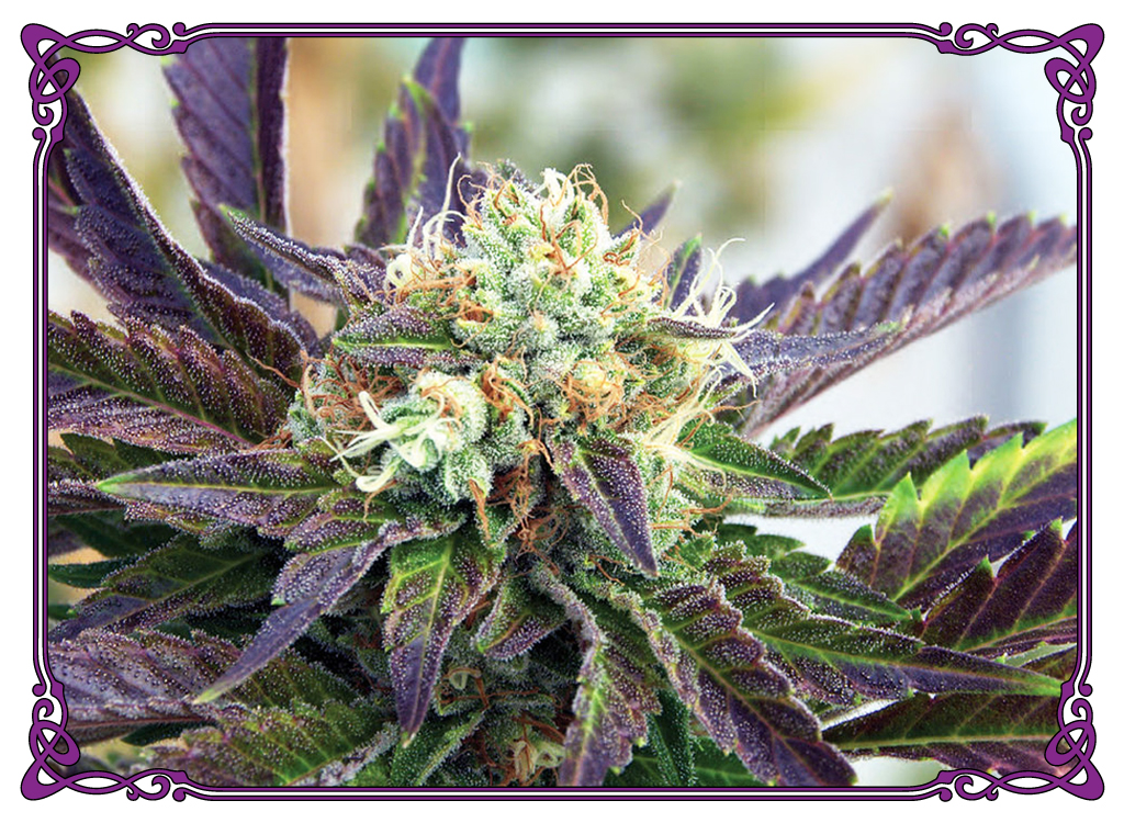 marijuana strain purple trainwreck strain