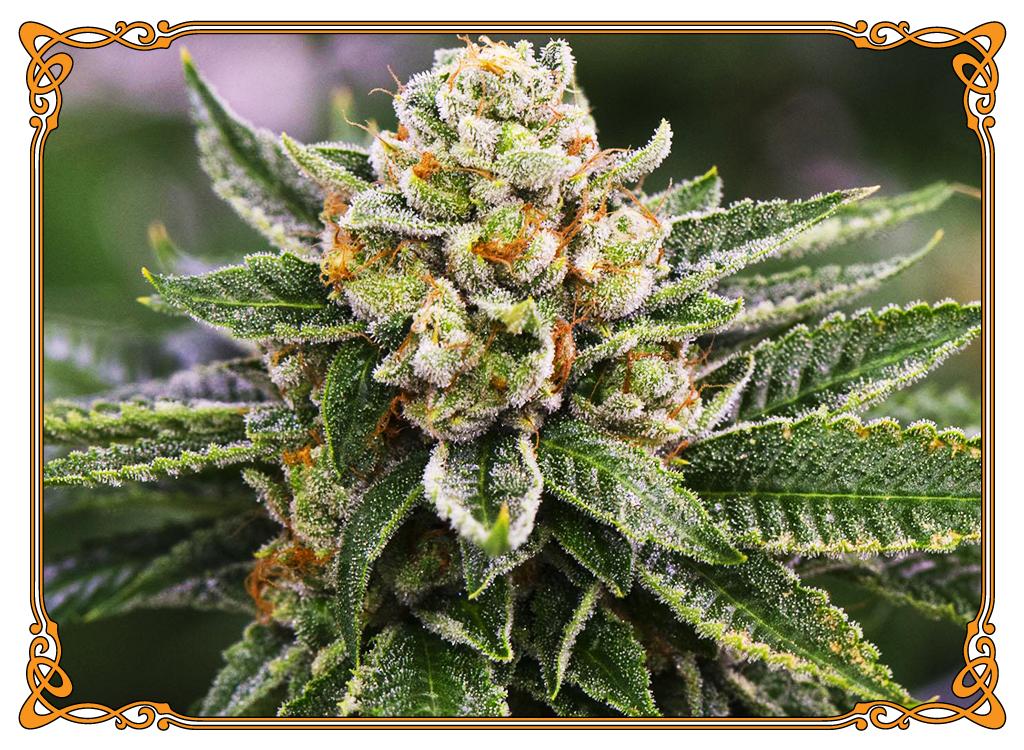 marijuana strain skywalker strain