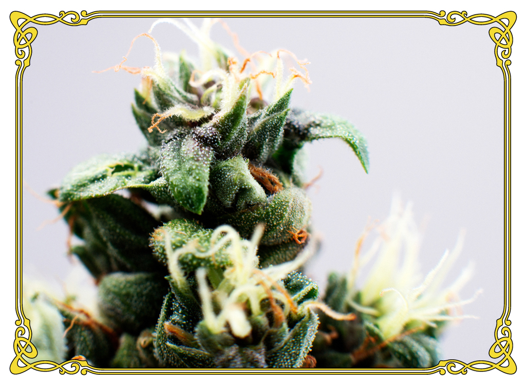 marijuana strain sour diesel strain