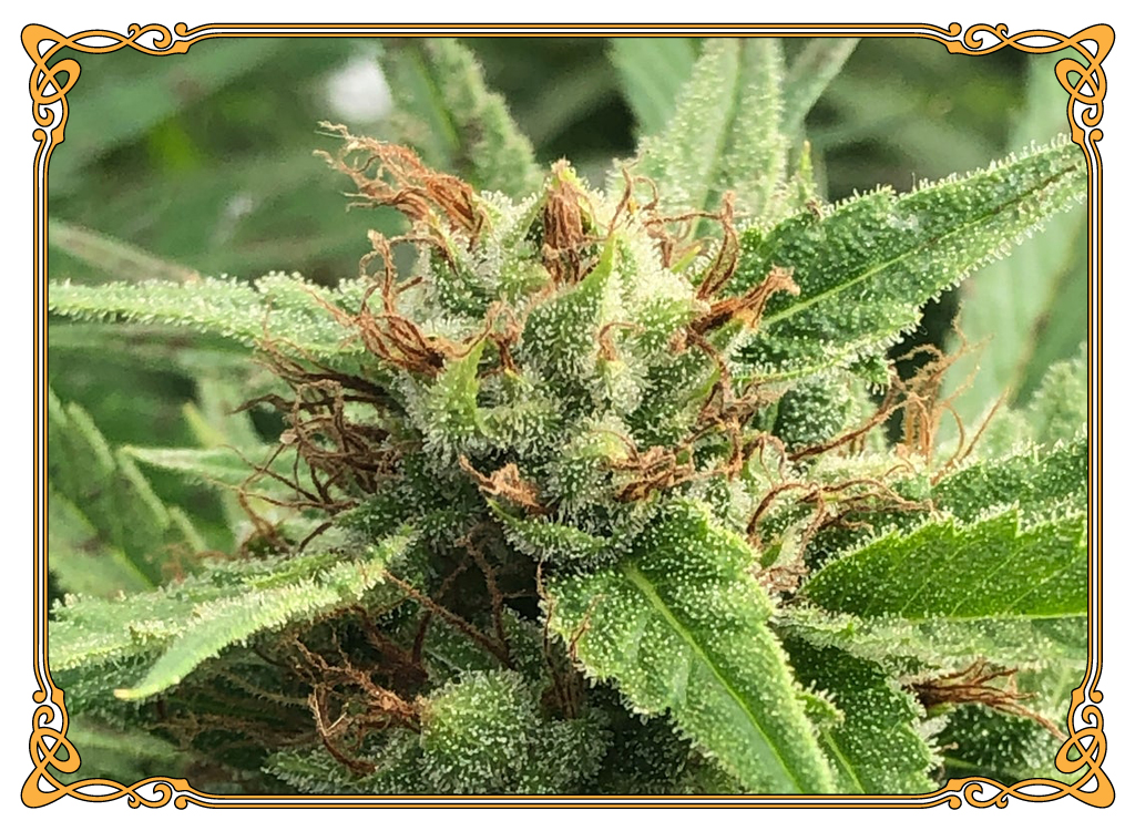 marijuana strain zen strain